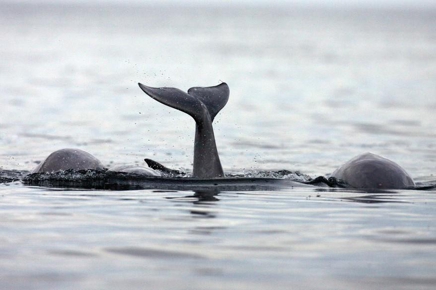 Une des dernières baleines noires au monde filmée par un drone.